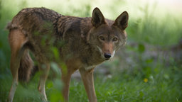 Red Wolf Revival